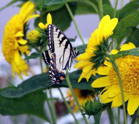 Black and Yellow Swallow Tail Stok Fotoğraf