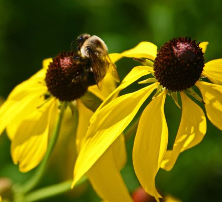 Queen Bee enjoying Yellow Flower photo