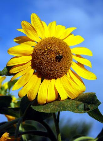 bee queen: Queen Bee y girasol Foto de archivo