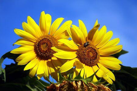 northeast ohio: Queen Bee and Sunflowers Stock Photo