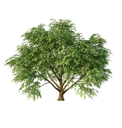 Cornus Tree on White Archivio Fotografico