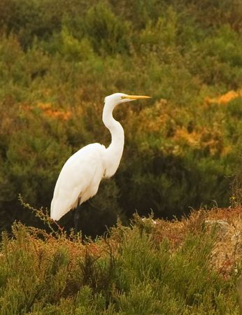 std: Snow Egret