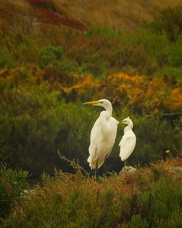 Egrets Looking
