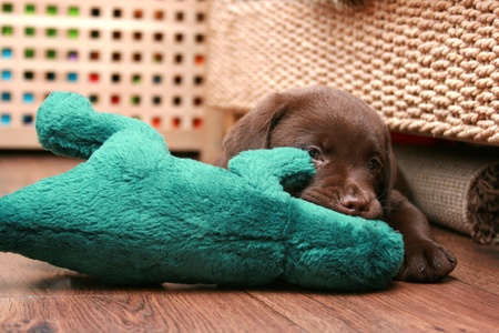 Cute chocolate brown labrador puppy