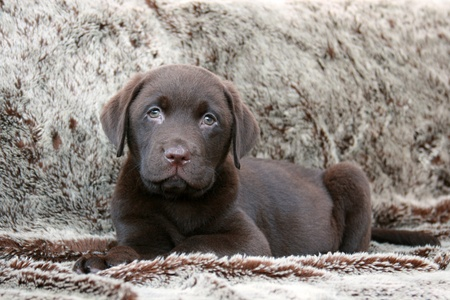Cute chocolate brown labrador puppy photo