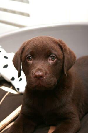 Cute chocolate brown labrador puppy