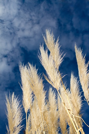 Cortaderia selloana pampass grass Stock Photo