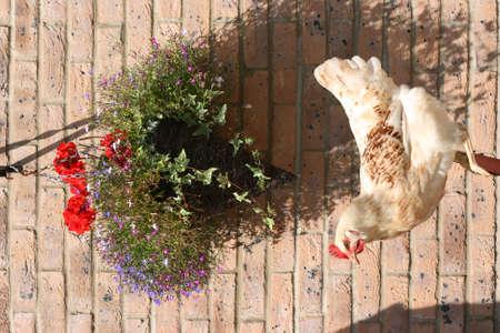 pullet: Sussex white hybrid hen in a british garden