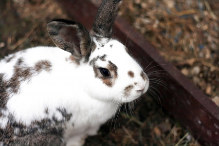 lop eared: A dwarf lop eared pet rabbit in the garden Stock Photo