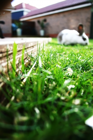 lop: A dwarf lop eared pet rabbit in the garden Stock Photo