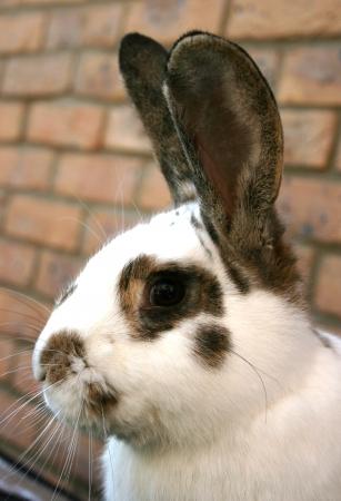 lop eared: A dwarf lop eared pet rabbit in the garden Stock Photo
