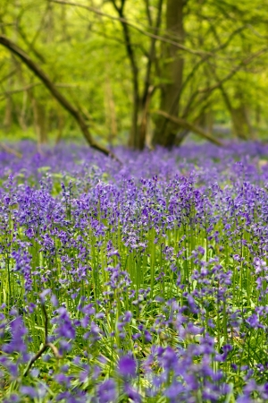 Bluebell woods in spring in UK countryside Stock Photo - 14070091