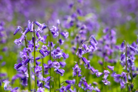bluebell woods: Bluebell woods in spring in UK countryside