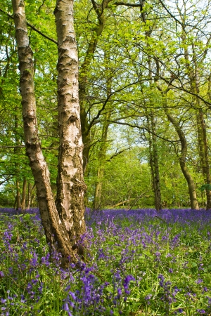 Bluebell woods in spring in UK countryside