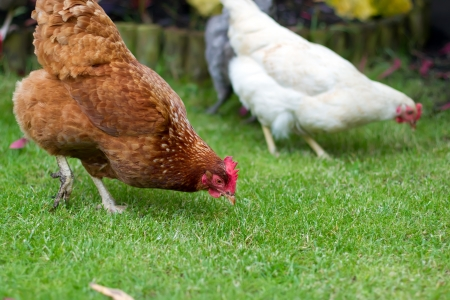 Pet chickens in an English garden Stock Photo