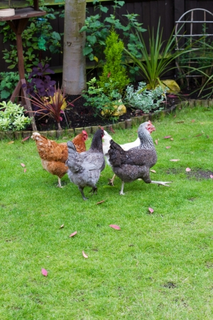 Pet chickens in an English garden photo