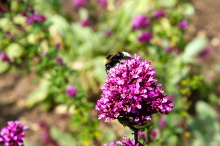 feasting: bee feasting upon a purple flower