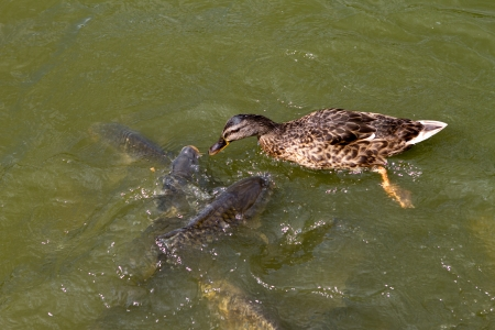 Mallard duck versus carp fish in the lake photo