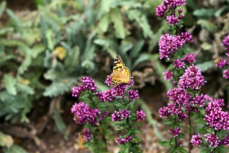 painted ladt butterfly landing on purple flowers photo