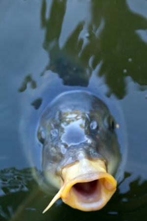 open mouthed fish looking straight at viewer Stock Photo