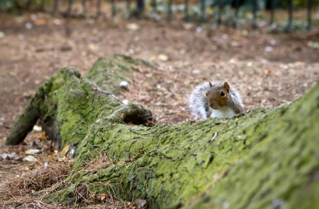 cautious: cheeky squirrel peeking over a tree root