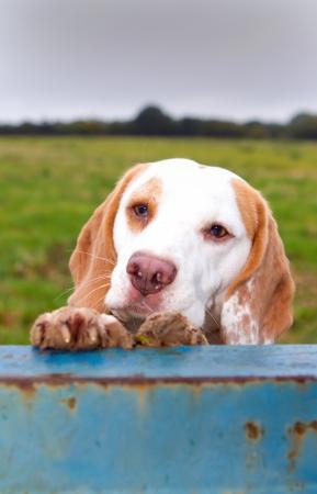 beagle climbing up for a peep