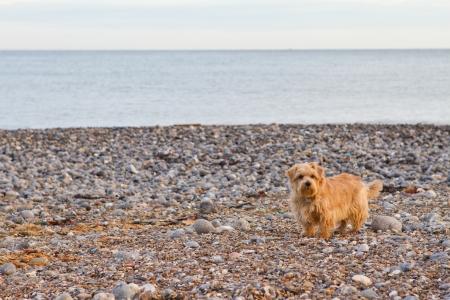 Norfolk terrier on the beach