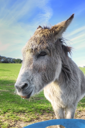 Donkey eating a carrot in the field photo