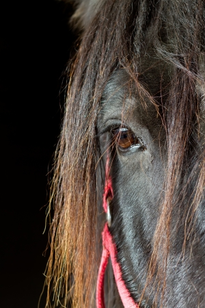black horse inside stable with red bridel
