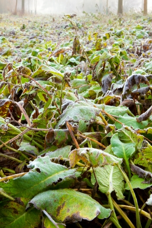 frozen hungle leaves low down Stock Photo - 16723546