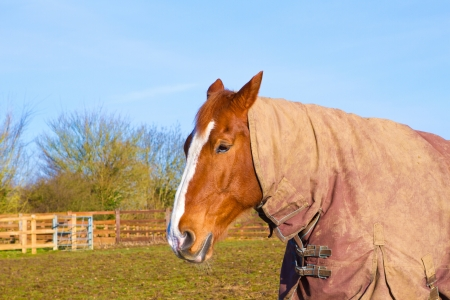 Horse in field wearing horse rug photo