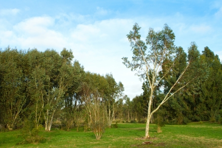 silver birch tree in the english countryside photo