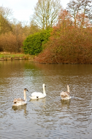 swans in an countryside scene photo