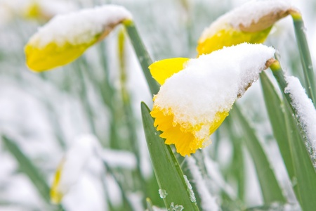 Braintree, Essex, UK. 23rd March 2013. A spring snow storm arrives overnight, leaving the blooming daffodils covered in a layer of snow photo