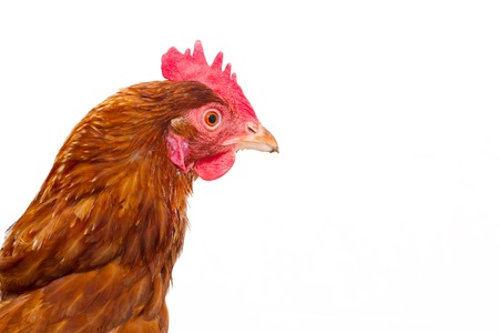 rhode island red chicken isolated  Stock Photo
