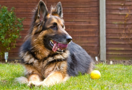 german shepherd dog laying in the garden with a ball in his mouth photo