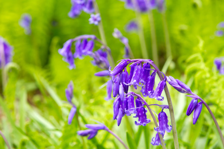 campagne anglaise: Spring bluebells growing in English countryside Banque d'images