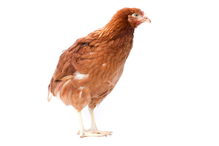 pullet: young pullet isolated