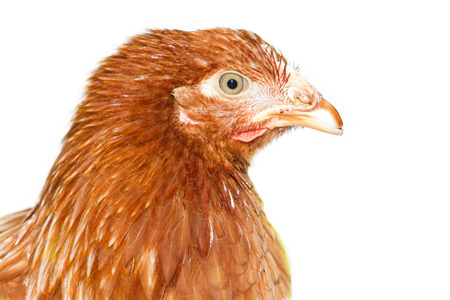 pullet: young pullet looking ahead