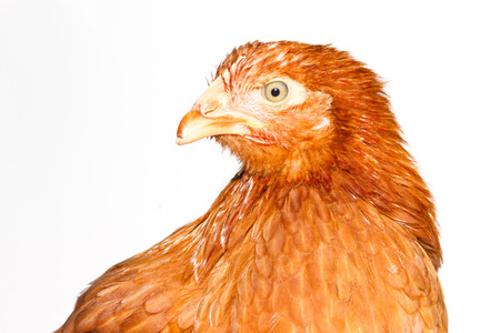 pullet: young pullet looking ahead at an angle