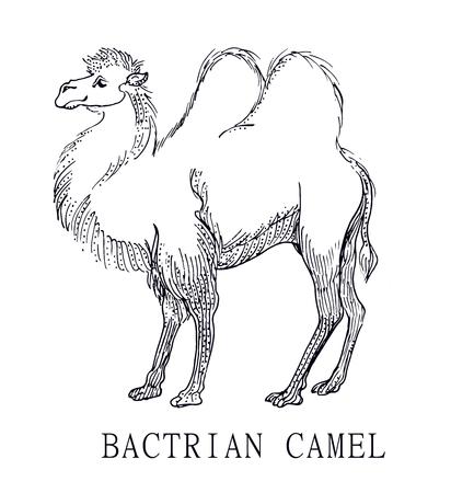 Dibujo Lineal De Un Camello - Ilustración Vectorial Ilustraciones ...