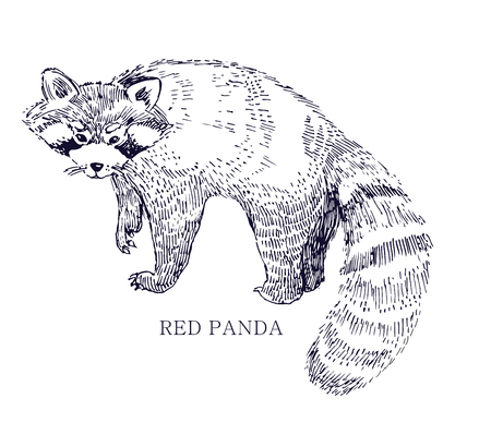 bearcat: Red panda, rare animal, conservation status Illustration