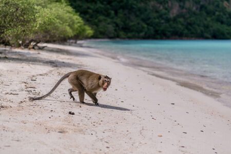 Angry Monkey on sendy beach of tropical island photo
