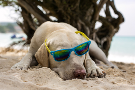 Adorable cool dude dog wearing sunglasses laying on the beach  photo