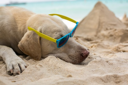 Adorable cool dude dog wearing sunglasses laying on the beach