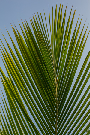 Palm leaf, palm leaves texture in nature layer photo