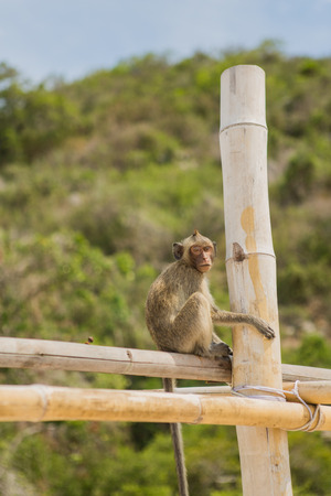 bamboo stick: Monkey. Crab-eating macaque seats on the bamboo stick