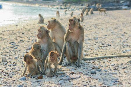 Monkeys family seats on the shore of the monkey island Stock Photo