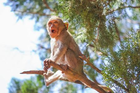 conglomerate: Monkey on the tree eats raw banana