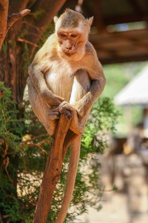 tropical tree: Asientos del mono en el �rbol tropical. Tailandia.